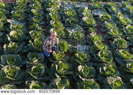 Harvesting Asian Farmer Cabbage In The Hands Of Green Cabbage Fresh Cabbage From The Field Scenery O