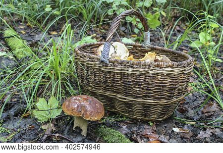A Basket Of Mushrooms Is On The Ground In The Forest, And A Porcini Mushroom Is Growing Nearby