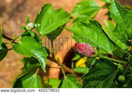 Beautiful Red Color Hibiscus Bud Blooming In Summer On Blur Background.