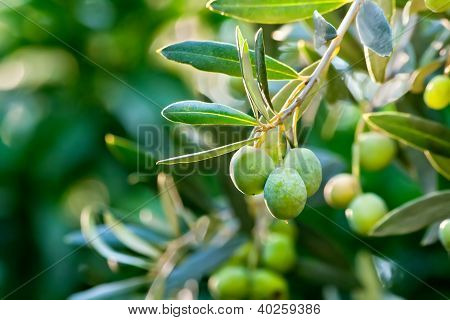 Olives On Its Tree Branch