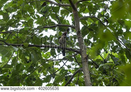 Striated Bulbul Or Pycnonotus Striatus Bird Perched On Tree Branch In Natural Green Background In Fo