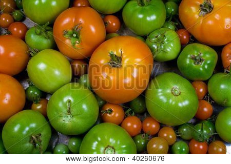 Various Stages of Ripening Tomatoes