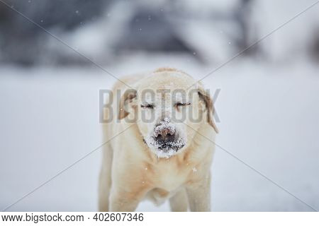 Frosty Snout Of Labrador Retriever. Cute Portrait Dog In Winter Nature.
