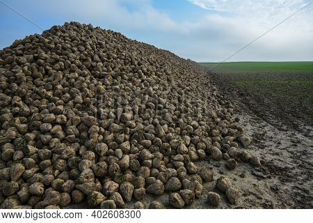 Pile Of Sugar Beet On The Field After Harvest, Industrial Agriculture Production In Northern Germany