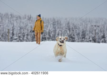 Funny Labrador Retriever Running In Snow Against Forest. Young Man With Dog In Winter Nature. Jizera