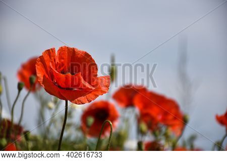 Focused Poppy Flower In A Field By A Blue Sky