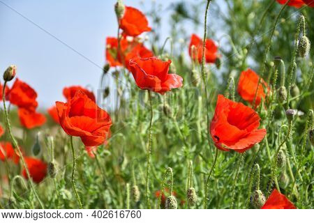 Beautiful Summer Flowers - Blossom Poppies Close Up