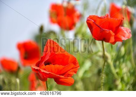 One Focused Blossom Poppy Flower In A Field