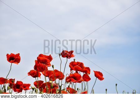 Group With Blossom Poppies By A Bright Blue Sky