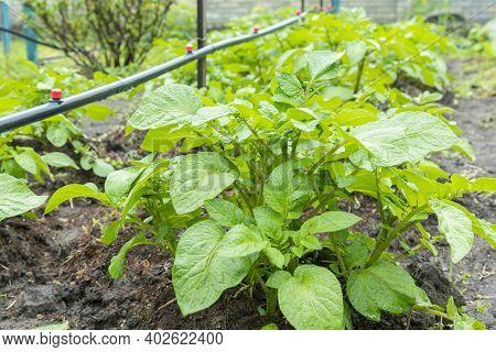 Field Of Green Potato Bushes. Rows On Potato Field With Green Bushes. Potato Bushes In The Garden. A