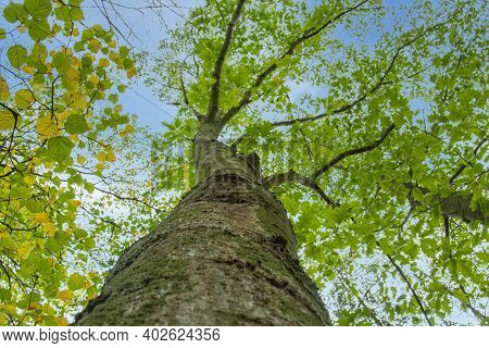 Bottom View To The Tree Top Of A Huge Plane Tree Or Platanus In Jungle Forest. View From The Bottom
