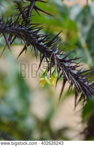 Purple Devil Yellow Flowers - Latin Name - Solanum Atropurpureum