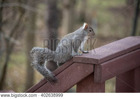 The Eastern Gray Squirrel Or Grey Squirrel, A Tree Squirrel In The Genus Sciurus Eating Bird Seed On