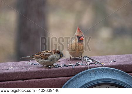Female Northern Cardinal Bird And A House Sparrow Bird Eating Birdseed On A Backyard Deck Porch In W