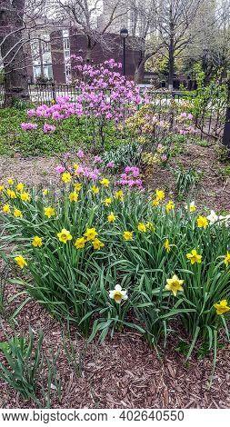 Yellow Daffodil Flowers In Full Bloom In Early Spring In A Garden