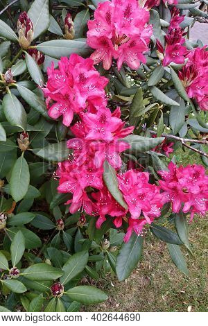 Early Flowering Rhododendron In Germany, An Evergreen Plant.