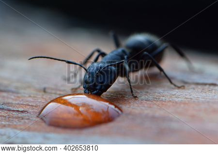 Black Ant Drinks Water, Close-up Portrait, Macro Photography. One Ant Drinks A Drop Of Dew, On A Woo