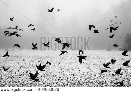 A Flock Of Crows Flying Above The Field Into The Mist.