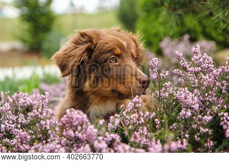The Cute Puppy Of The Australian Shepherd Is Sitting In The Heather And Looking Happy And Satisfied.