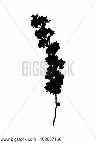 Vector Cherry Blossom - Sakura (prunus Serrulata) Branch Silhouette Isolated On White Background