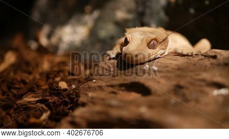Crested Gecko On Stone. Closeup Cute Crested Gecko Lying And Resting On Rough Stone In Warm Terrariu