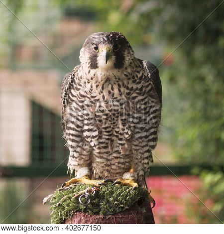 Front View Animal Portrait Of Sitting Falcon Bird Of Prey, Falconry And Bird Breeding Concept.