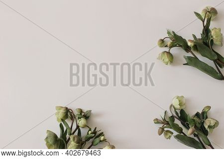 Spring Styled Photo. Floral Frame, Banner. Green Hellebores Flowers On Neutral Beige Champagne Table