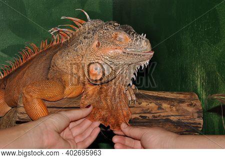 Red Iguana - Morph Green Iguana (lat. Iguana Iguana) In Terrarium