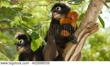 Cute Spectacled Leaf Langur, Dusky Monkey On Tree Branch Amidst Green Leaves In Ang Thong National P