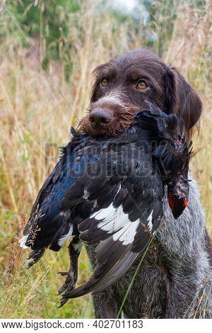 Gun Dog - German Wirehaired Pointer Sits In The Grass And Holds A Downed Wildfowl (black Grouse Cock