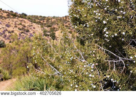Juniper Tree Covered With Berries Surrounded By A Chaparral And Juniper Woodland Taken On Arid Hills