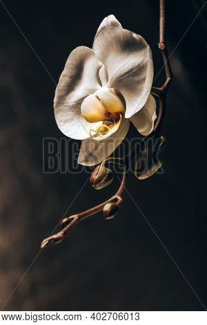 Closeup Photo of a White Gentle Orchid Flowers over Dark Background. The Most Delicate Creation of Nature. Romantic Gift for Valentine Day Holiday.