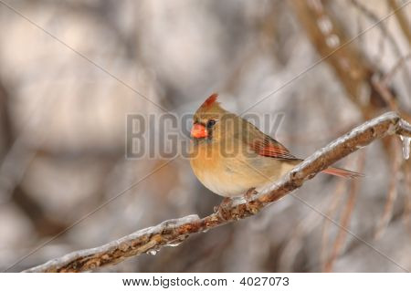 A female northern cardinal perched on an ice covered trig. poster