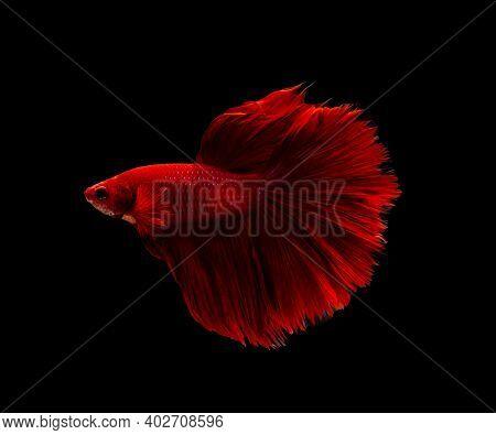 Siamese Fighting Fish Or Betta Splendens Fish, Popular Aquarium Fish In Thailand. Super Red Half Moo