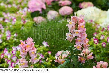 Pink Snapdragon Flower Or Antirrhinum Plant On Blurred Colorful Flower Garden Background