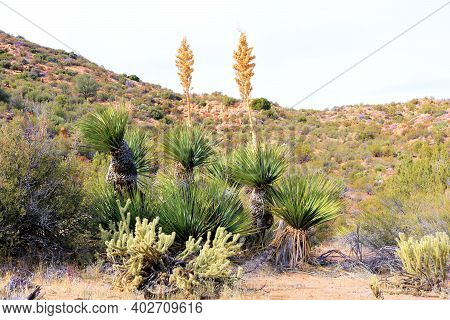 Yucca Plants And Cacti At A Chaparral Woodland Taken On Arid Badlands In The Rural Southern Californ