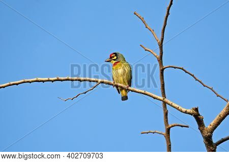 Close Up Coppersmith Barbet Bird Perched On Branch Isolated On Blue Sky