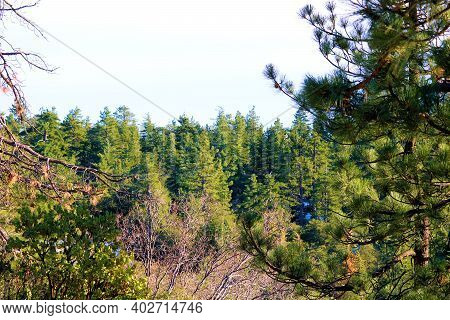 Alpine Pine Forest On A Mountain Ridge Taken In The Sierra Nevada Mountains, Ca