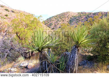 Yucca Plants Besides Chaparral Shrubs On A Rural High Desert Plateau At Arid Badlands Taken In Anza