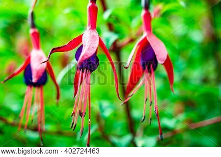 Fuchsia Wildflower Growing In County Donegal - Ireland