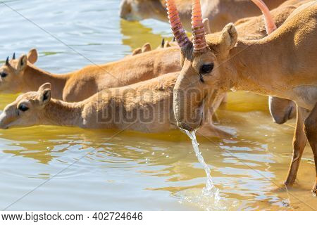 Saigas At A Watering Place Drink Water And Bathe During Strong Heat And Drought. Saiga Tatarica Is L