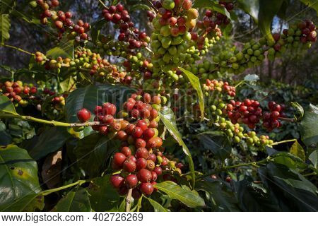 Raw Or Ripe Red Branch Of Arabica And Robusta And Organic Coffee Berries Beans On Tree. Farmer Crop