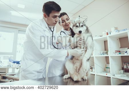 Qualified Veterinarian With Assistant Examines Siberian Husky With Stethophonendoscope.