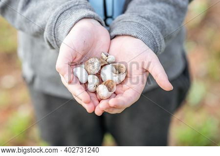 Shells On The Forest.empty Snail Shells In Womans Hand. Collecting Empty Shells, Taking Shells From
