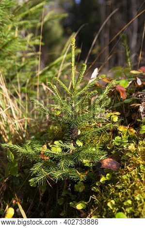 Young Christmas Tree In The Park. A Very Small Christmas Tree In The Autumn Forest Grows For Christm