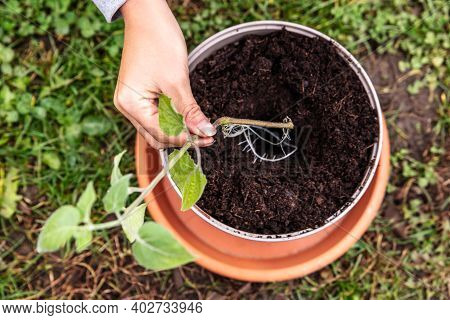 Offshoot And Cutting Plant Gardening, Woman Holding A Physalis Peruviana Plant, Topview