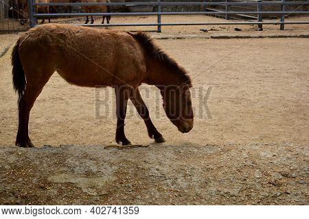 Przewalski, Dzungarian Or Mongolian Or Asian Wild Horse, Is A Rare And Endangered Subspecies Of Wild