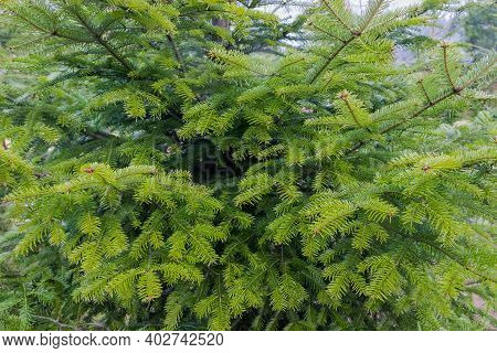 Fragment Of Young Fir Tree In Cloudy Rainy Weather In Park, Background Of Fir Branches