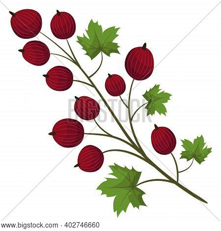 Red Gooseberry Branch; Vector Illustration For Packaging, Posters, Banners, Etc.