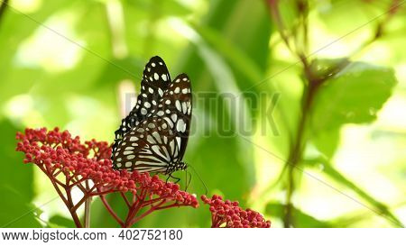 Tropical Exotic Butterfly In Jungle Rainforest Sitting On Green Leaves, Macro Close Up. Spring Parad